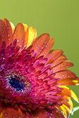 Transvaal daisy flower in rain drops — Stock Photo