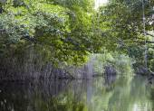 Tropical thickets mangrove forest on the Black river. Jamaica — Stock fotografie