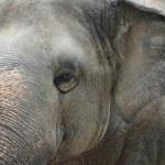 Asian elephant — Stockfoto #56928559