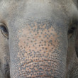 Asian elephant — Stock Photo #56928595