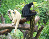 Two gibbons — Stock Photo