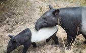 Tapirs — Stockfoto