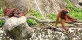 Orangutans — Stock Photo