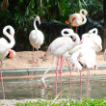 Pink flamingos — Stock Photo #59341107