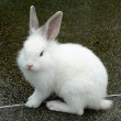 White rabbit — Stock Photo #59768903