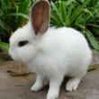 Whtie rabbit — Stock Photo #59768909