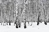 白桦林 — 图库照片