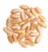 Wheat grain — Stock Photo
