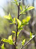 Cherry leaves — Stock Photo