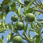 Unripe oranges — Stock Photo #79936356