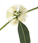 Eucalyptus flower — Stock Photo