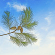 Pine branch with cone on sky background — Stock Photo #61452339