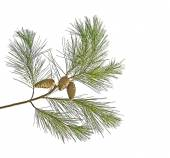 Pine branch with cones isolated on white background — Stock Photo