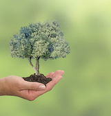Olive tree in hand as a gift — Stock Photo
