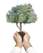 Olive tree in hands as a gift — Stock Photo