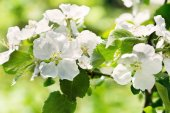 Apple blossoms branch  — Stock Photo