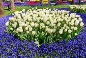 White tulip flowers — Stock Photo