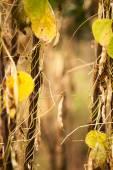 Yellow beans landscape  — Foto Stock