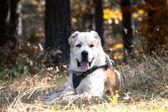 Pies biały owczarek środkowoazjatycki — Zdjęcie stockowe