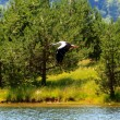 Stork over the spring lake — Stock Photo #63839135