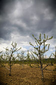 Stormy orchard — Photo