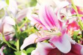 Pink  lilies closeup — Stock Photo