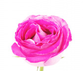 Blooming bud of pink rose  on white, isolated — Stock Photo