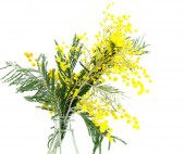 Sprigs of blossoming Silver Acacia in bottle ( lat. Acacia dealbata) on white,isolated  — Stock Photo