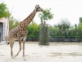 Giraffe in  aviary, Safari Park Taigan, Crimea.  — Stock Photo