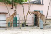 Giraffes in  aviary, Safari Park Taigan, Crimea.  — Stock Photo