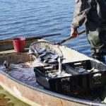 Fisherman with catch of fish cregonus — Stock Photo #71593061