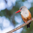 Grey-headed kingfisher sitting on a branch waiting for prey fly  — Stock Photo #52042491