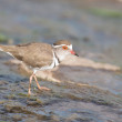 Three banded plover walking in muddy shallow water bright sunlig — Stock Photo #52044245