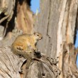 Tree squirrel sit in old dead tree to enjoy the morning sun — Stock Photo #52327751