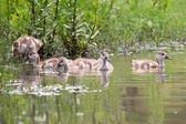 Baby Egyptian goose go for a swim on their own in dangerous wate — Stock Photo