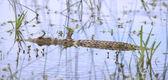 Crocodile swim with stealth among water plants to stalk prey — Stock Photo
