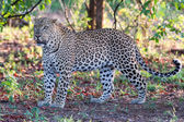Large male leopard busy marking his territory on tree — Stock Photo