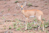 Small Steenbok female walking carefully over open dry ground — Stock Photo