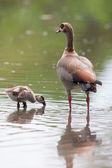 Egyptian goose family go for a swim on their own in dangerous wa — Stock Photo