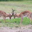Two male impala fight in for the herd with best territory — Stock Photo #52551575