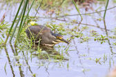 Green backed heron carefully hunting fish in shallow water — Stock Photo