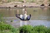 Egyptian goose standing in water flapping wings to dry — Stock Photo