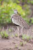 Black-bellied bustard preparing to call for the mate — Stock Photo