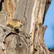 Tree squirrel sit in old dead tree to enjoy the morning sun — Stock Photo #52769129
