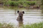 Lone hyena swim in a small pool to cool down on hot day — Stock Photo