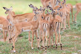 Impala doe caress her new born lamb in dangerous environment — Stock Photo