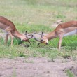 Two male impala fight in for the herd with best territory — Stock Photo #52913305