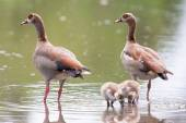 Egyptian goose family go for a swim on their own in dangerous wa — Stock Photo