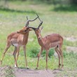 Two male impala fight in for the herd with best territory — Stock Photo #53127163