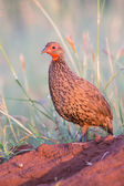 Swainson's spur fowl sit on a ant heap to call for its mate in e — Stock Photo
